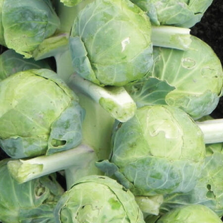 Gustus, Brussels Sprout Seeds - Packet image number null