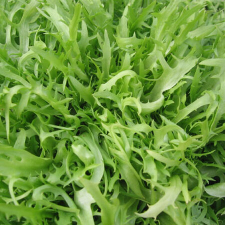 Frisee Endive, Chicory - Packet image number null