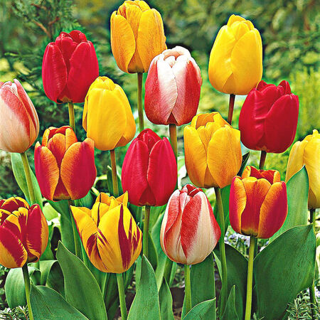 Darwin Hybrid Mix, Tulip Bulbs image number null