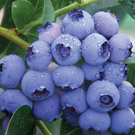 Bluecrop, Blueberry Plant image number null