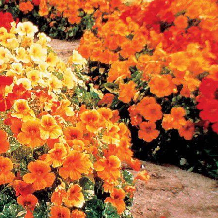 Alaska, Nasturtium Seeds - Packet image number null