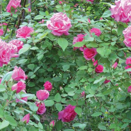 Pink Bush, Rose Seeds - Packet image number null