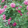 Pink Bush, Rose Seeds - Packet thumbnail number null
