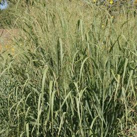 Switchgrass Alamo, Grass Seed