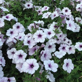 Tidal Wave Silver, Petunia Seeds