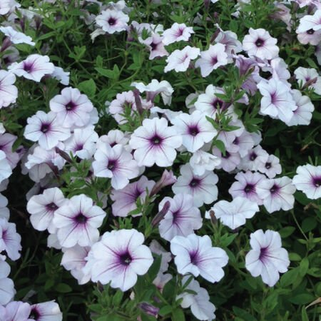 Tidal Wave Silver, Petunia Seeds - Packet image number null