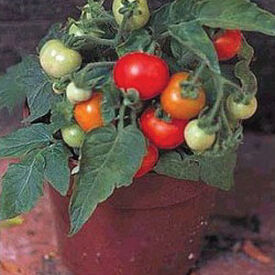 Micro Tom, (F1) Tomato Seeds