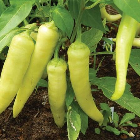 Sweet Banana, Pepper Plants image number null