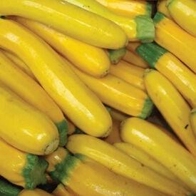 Golden, Zucchini Seeds