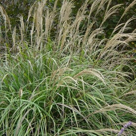 Miscanthus, Ornamental Grass Seed