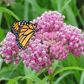 Swamp, Asclepias (Butterfly Weed)
