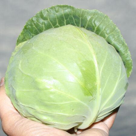 Katarina, Cabbage Seeds image number null
