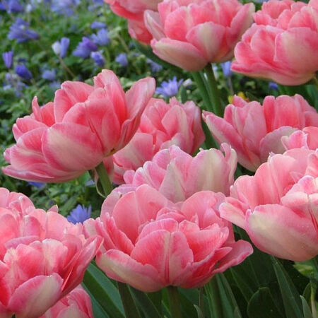 Fox Trot, Tulip Bulbs image number null