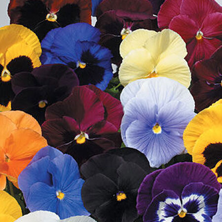 Atlas Mix, Pansy Seeds - Packet image number null