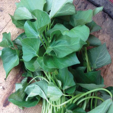 Beauregard, Sweet Potato Slips - 25 Potato Slips image number null