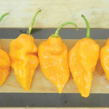 Yellow Bhut Jolokia, Pepper Seeds - Packet image number null