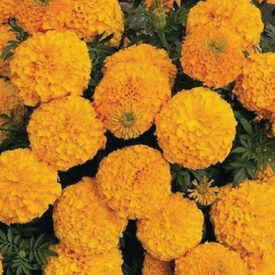 Orange Inca II, Marigold Seeds