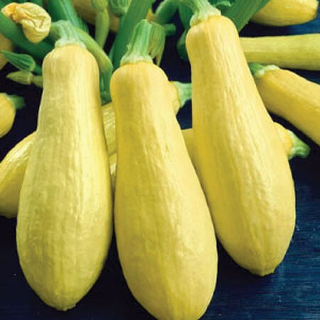 Early Prolific Straightneck, Squash Seeds image number null