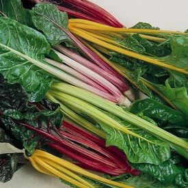 Rainbow Blend, Organic Swiss Chard Seeds