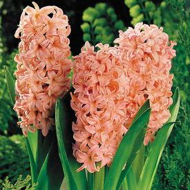 Gypsy Queen, Hyacinth Bulbs