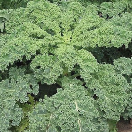 Blue Curled Scotch, Kale Seed - Packet image number null
