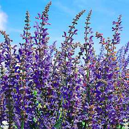 Blue Spire, Salvia Seeds - Packet image number null