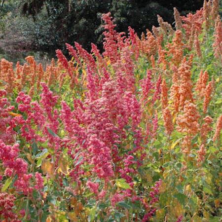 Brilliant Rainbow Quinoa, Greens - Packet image number null