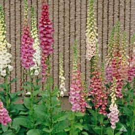 Excelsior Mix, Digitalis Seed