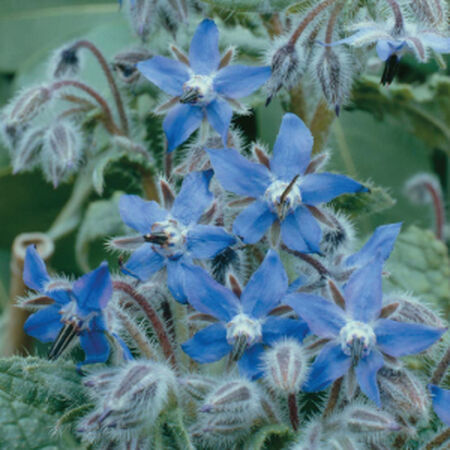 Common, Borage Seed - Packet image number null