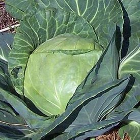 Late Flat Dutch, Cabbage Seeds