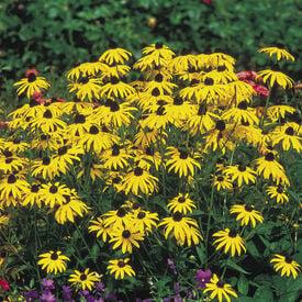 Goldstrum, Rudbeckia Seeds