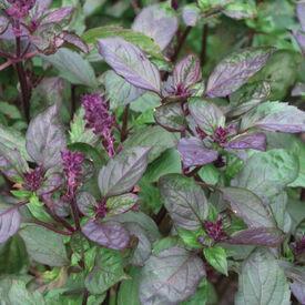 Ararat, Basil Seeds