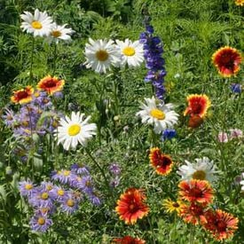 Mountain Flower Blend, Wildflower Seed