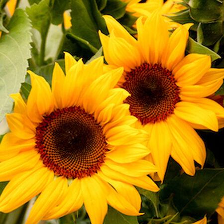 Santa Fe Sunrise, (F1) Sunflower Seeds image number null