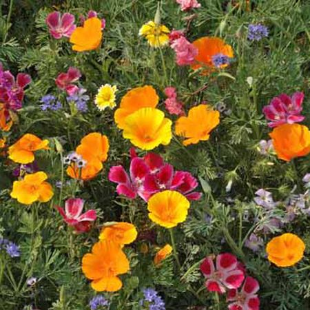 Northwest Blend, Wildflower Seed - 1 Ounce image number null