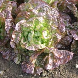 Marvel of Four Seasons, Lettuce Seeds