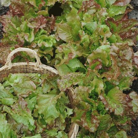 Santa Fe, Lettuce Seeds - Packet image number null