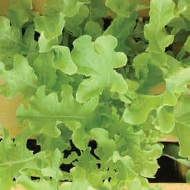 Green Salad Bowl, Lettuce Seeds