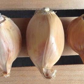 Elephant, Garlic Bulbs