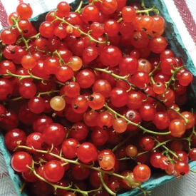 Red Currant, Currant Seeds