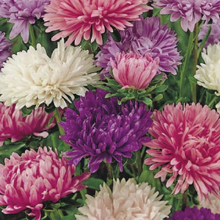 Powder Puff Mix, Aster Seeds - Packet image number null