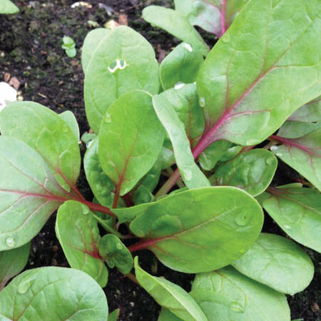 Red Kitten, (F1) Spinach Seeds image number null