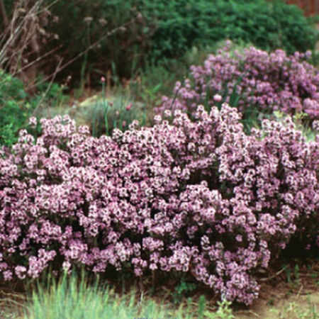 Creeping, Thyme Seeds - Packet image number null