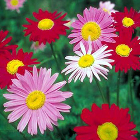 Painted, Daisy Seeds - Packet image number null