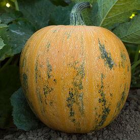 Lady Godiva, Organic Pumpkin Seeds