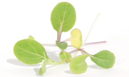 https://www.ufseeds.com/on/demandware.static/-/Sites-UrbanFarmer-Library/default/v1627649002795/White-Stem-Bok-Choy-Microgreen-Seeds.jpg