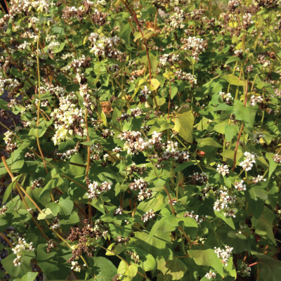 buckwheat-seeds