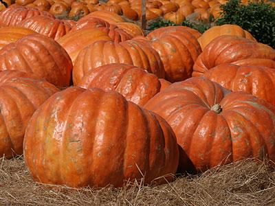 atlantic-giant-pumpkin