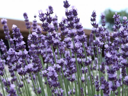 vera-lavender-seeds