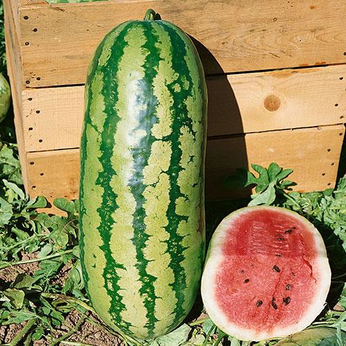 100 Seeds Jubilee Watermelon Seeds Non-GMO Heirloom